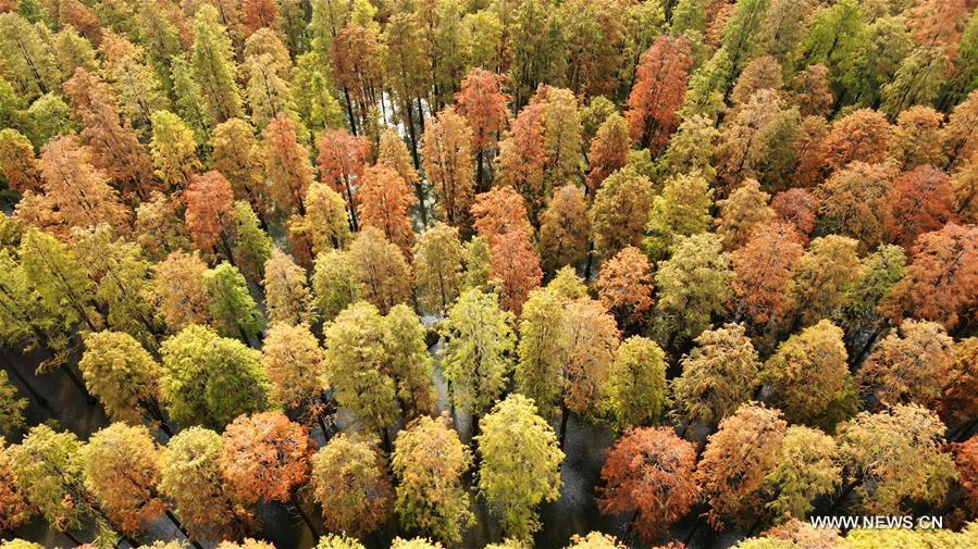 Aerial photo taken on Nov. 12, 2018 shows the scenery of the dawn redwood forest at Luyang Lake Wetland Park in Yangzhou, east China\'s Jiangsu Province. (Xinhua/Meng Delong)