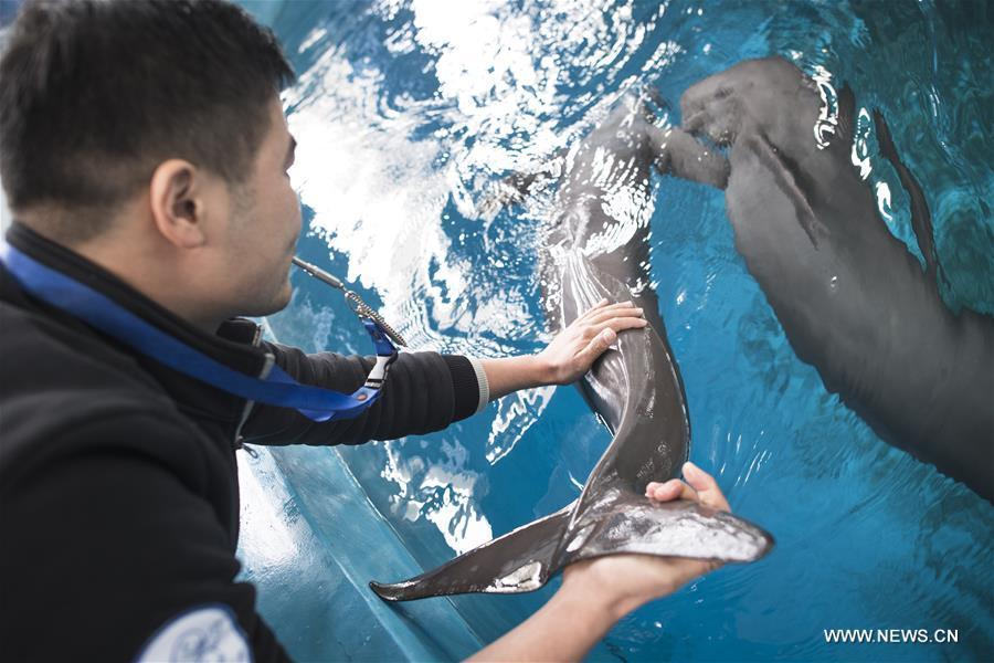 A keeper gives medical care training to Yangtze finless porpoises at the Yangtze River Dolphin aquarium in the Institute of Hydrobiology of the Chinese Academy of Sciences in Wuhan, capital of central China\'s Hubei Province, on Nov. 10, 2018. With a slightly curved mouth, the Yangtze finless porpoise is often called the \