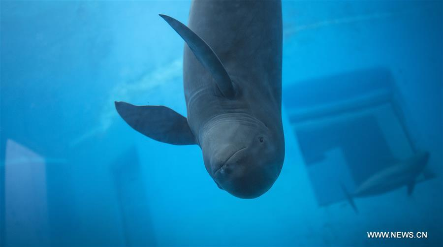 A Yangtze finless porpoise swims at the Yangtze River Dolphin aquarium in the Institute of Hydrobiology of the Chinese Academy of Sciences in Wuhan, capital of central China\'s Hubei Province, on Nov. 10, 2018. With a slightly curved mouth, the Yangtze finless porpoise is often called the \