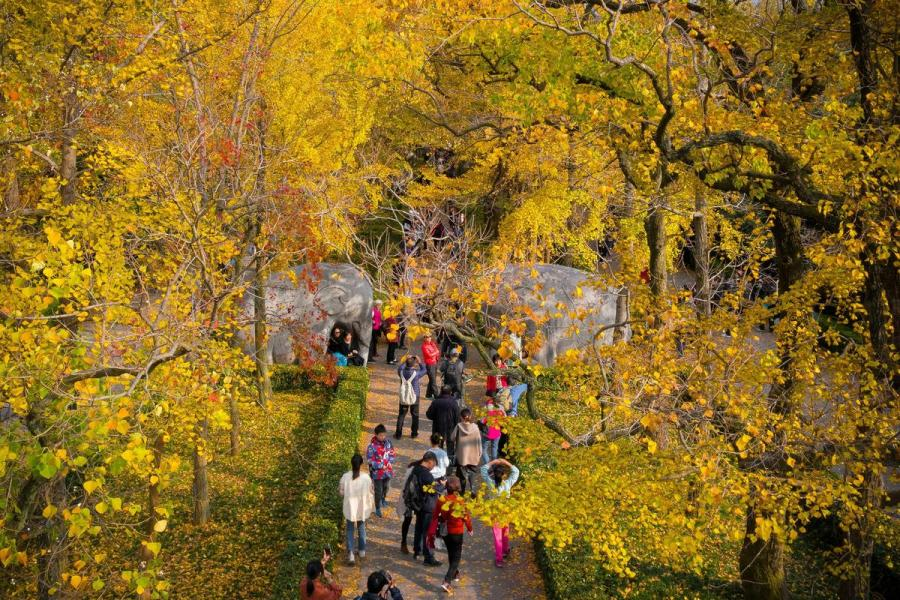 Late autumn leaves create a golden canopy over people strolling through the Zhongshan scenic area in Nanjing, East China\'s Jiangsu Province, on Nov. 10, 2018. The picturesque view has attracted a good number of visitors.(Photo/Asianewsphoto)