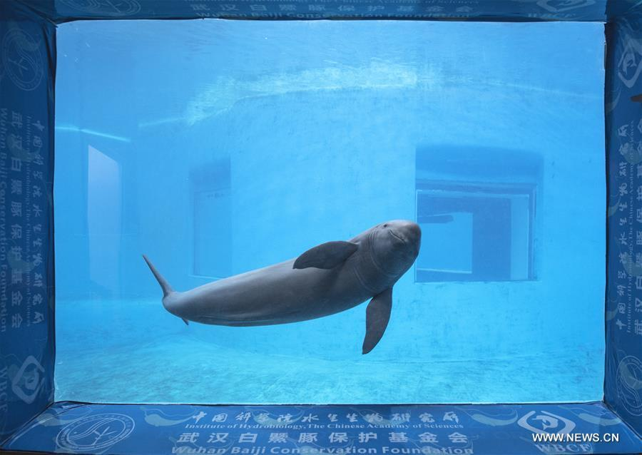 A keeper gives medical care training to Yangtze finless porpoises at the Yangtze River Dolphin aquarium of the Institute of Hydrobiology of the Chinese Academy of Sciences in Wuhan, capital of central China\'s Hubei Province, on Nov. 10, 2018. With a slightly curved mouth, the Yangtze finless porpoise is often called the \