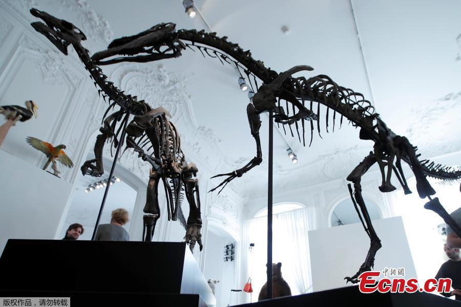 Two dinosaur skeletons, an Allosaurus and a Camptosaurus discovered in Wyoming, are reconstructed ahead of an auction at Artcurial auction house in Paris, France, November 13, 2018. (Photo/Agencies)