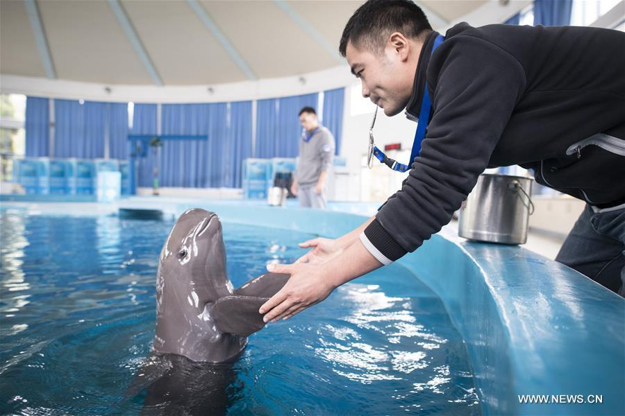 A keeper gives medical care training to a Yangtze finless porpoise at the Yangtze River Dolphin aquarium in the Institute of Hydrobiology of the Chinese Academy of Sciences in Wuhan, capital of central China\'s Hubei Province, on Nov. 10, 2018. With a slightly curved mouth, the Yangtze finless porpoise is often called the \