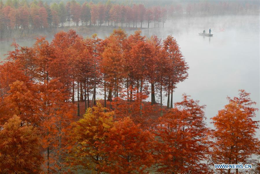 Photo taken on Nov. 14, 2018 shows the scenery of redwood forest at the Tianquan Lake scenic area in Xuyi County, east China\'s Jiangsu Province. (Xinhua/Zhou Haijun)