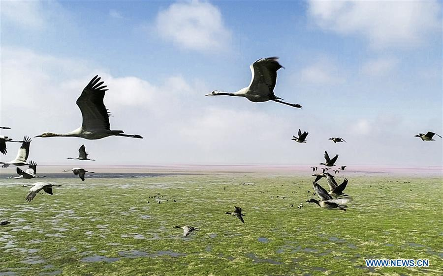 Aerial photo taken on Nov. 9, 2018 shows migrant birds at Duchang wetland of Poyang Lake, east China\'s Jiangxi Province. The Poyang Lake, China\'s largest freshwater lake, saw a flock of migratory birds overwintering in it. (Xinhua/Fu Jianbin)