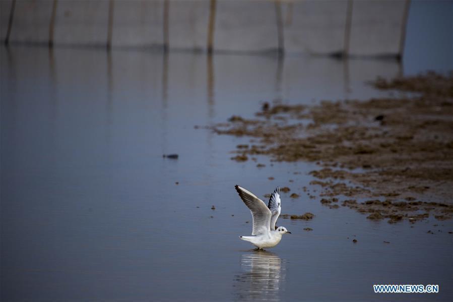Photo taken on Nov. 14, 2018 shows a gull at Duchang wetland of Poyang Lake, east China\'s Jiangxi Province. The Poyang Lake, China\'s largest freshwater lake, saw a flock of migratory birds overwintering in it. (Xinhua/Fu Jianbin)