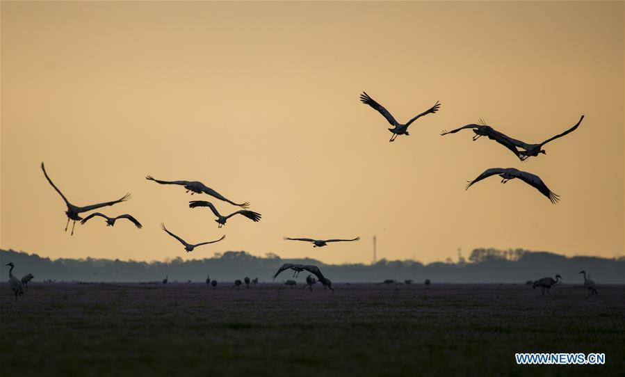 Photo taken on Nov. 14, 2018 shows the migrant birds at Duchang wetland of Poyang Lake, east China\'s Jiangxi Province. The Poyang Lake, China\'s largest freshwater lake, saw a flock of migratory birds overwintering in it. (Xinhua/Fu Jianbin)