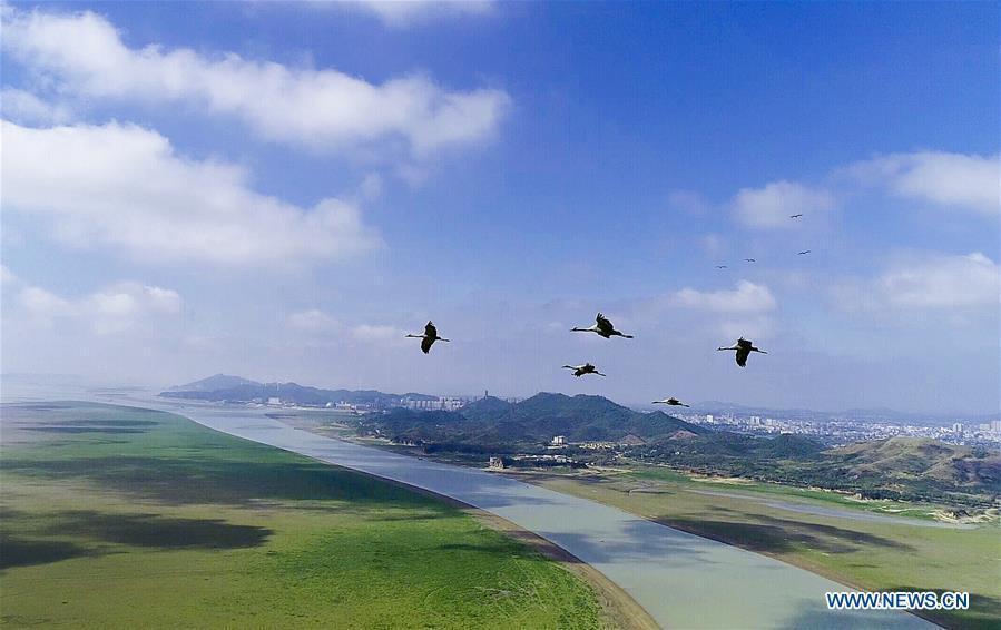 Aerial photo taken on Nov. 9, 2018 shows grey cranes at Duchang wetland of Poyang Lake, east China\'s Jiangxi Province. The Poyang Lake, China\'s largest freshwater lake, saw a flock of migratory birds overwintering in it. (Xinhua/Fu Jianbin)