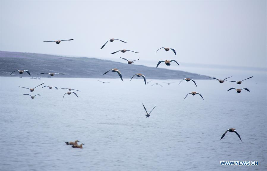Photo taken on Nov. 9, 2018 shows migrant birds at Duchang wetland of Poyang Lake, east China\'s Jiangxi Province. The Poyang Lake, China\'s largest freshwater lake, saw a flock of migratory birds overwintering in it. (Xinhua/Fu Jianbin)