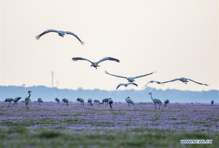 Grey cranes are seen at Duchang wetland of Poyang Lake, east China\'s Jiangxi Province, Nov. 14, 2018. The Poyang Lake, China\'s largest freshwater lake, saw a flock of migratory birds overwintering in it. (Xinhua/Fu Jianbin)