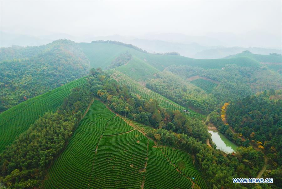 Aerial photo taken on Nov. 16, 2018 shows a tea garden in Lujia Village of Anji County, east China\'s Zhejiang Province. Lujia Village is located in the mountainous region in northeastern Anji. The village has a population of over 2,200 and about 533 hectares of bamboo forests. To build a beautiful village and improve the living of local villagers, Lujia implemented a comprehensive plan for rural, industrial and tourism development in recent years. The income of the village\'s collective economy surged from 18,000 yuan (about 2,500 U.S. dollars) in 2011 to 3.3 million yuan (about 475,000 U.S. dollars) in 2017. The per capita income of local people arrives at 35,000 yuan (about 5,000 U.S. dollars). So far, the village has collective assets valued at nearly 200 million yuan (about 28.8 million U.S. dollars). (Xinhua/Meng Chenguang)