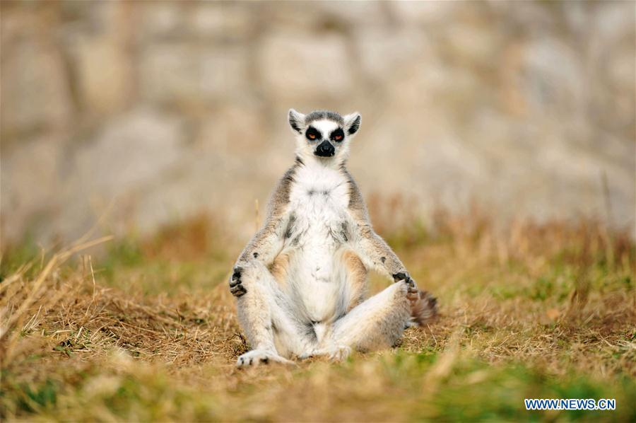 A ring-tailed lemur is seen at Qingdao Forest Wildlife World in Qingdao, east China\'s Shandong Province, Nov. 15, 2018. (Xinhua/Yu Fangping)