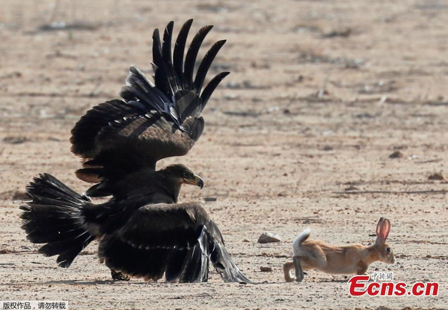 A hunting falcon catches a hare during a celebration by Egyptian clubs and austringers on World Falconry Day at Borg al-Arab desert in Alexandria, Egypt, November 17, 2018.  (Photo/Agencies)