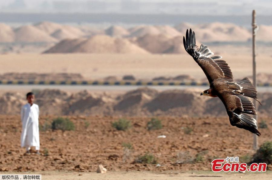 A Bedouin boy looks at falcon during a celebration with Egyptian clubs and austringers on World Falconry Day at Borg al-Arab desert in Alexandria, Egypt, November 17, 2018.  (Photo/Agencies)