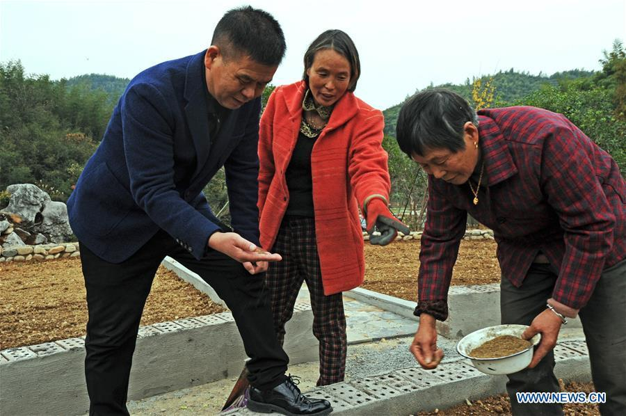 Zhu Renbin (L), secretary of the Communist Party of China local branch in Lujia Village, discusses dandelion planting with farmers at a traditional Chinese medicine farm in Lujia Village of Anji County, east China\'s Zhejiang Province, Nov. 14, 2018. Lujia Village is located in the mountainous region in northeastern Anji. The village has a population of over 2,200 and about 533 hectares of bamboo forests. To build a beautiful village and improve the living of local villagers, Lujia implemented a comprehensive plan for rural, industrial and tourism development in recent years. The income of the village\'s collective economy surged from 18,000 yuan (about 2,500 U.S. dollars) in 2011 to 3.3 million yuan (about 475,000 U.S. dollars) in 2017. The per capita income of local people arrives at 35,000 yuan (about 5,000 U.S. dollars). So far, the village has collective assets valued at nearly 200 million yuan (about 28.8 million U.S. dollars). (Xinhua/Tan Jin)