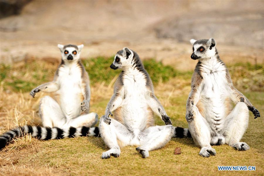 Ring-tailed lemurs are seen at Qingdao Forest Wildlife World in Qingdao, east China\'s Shandong Province, Nov. 15, 2018. (Xinhua/Yu Fangping)