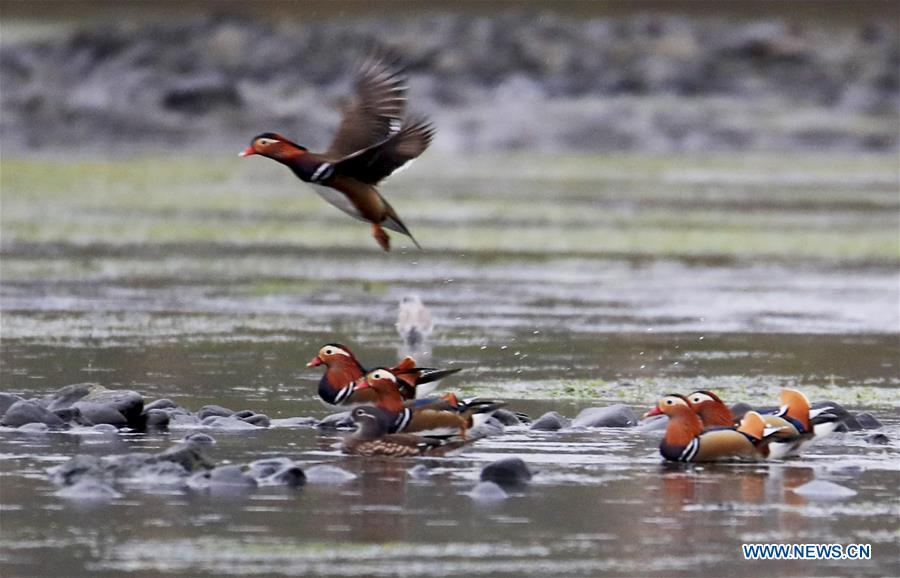 Wild mandarin ducks are seen on the Xin\'an River in Huangshan City, east China\'s Anhui Province, Nov. 16, 2018. The Xin\'an River in recent years has seen an increasing number of wild mandarin ducks overwintering in it. (Xinhua/Shi Guangde)