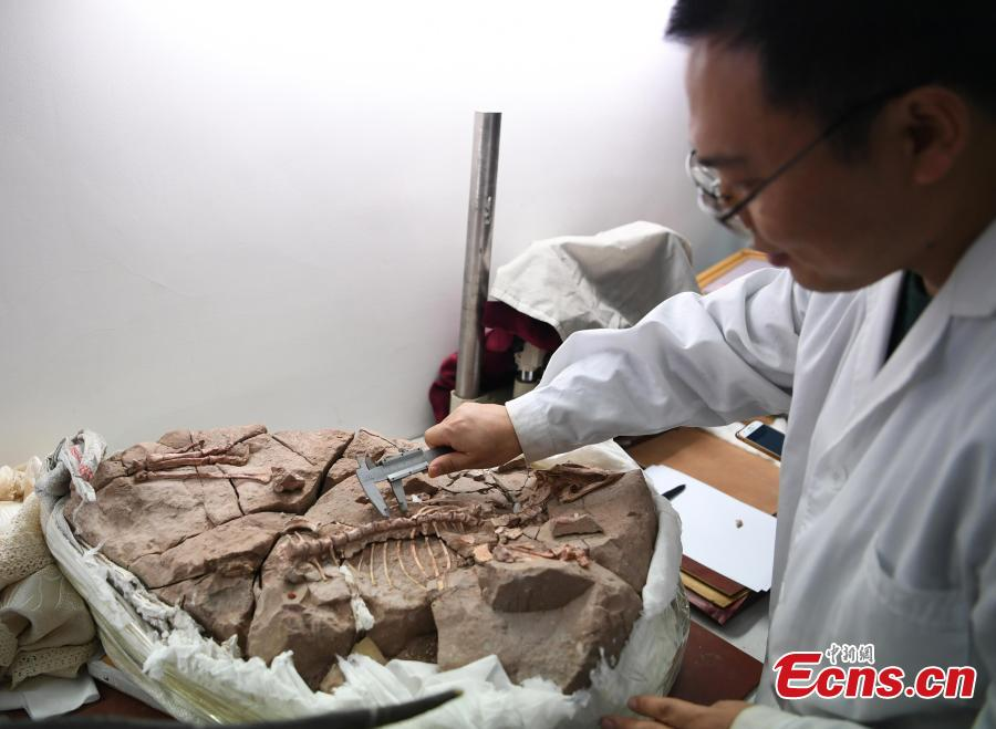 A new study published recently in the journal PLOS ONE describes tooth histology and development of ornithischian dinosaur Changchunsaurus parvus in the mid-Cretaceous period. The research, led by a team of Jilin University, revealed the presence of wavy enamel, which is the phylogenetically earliest occurrence of this type of tissue, according to Chen Jun, director of the team. This is the first time that such a structure has been found after the large duck-billed dinosaurs, and the structure would enhance the teeth and make them more wear-resisting for cutting and chewing plants. (Photo: China News Service/Zhang Yao)
