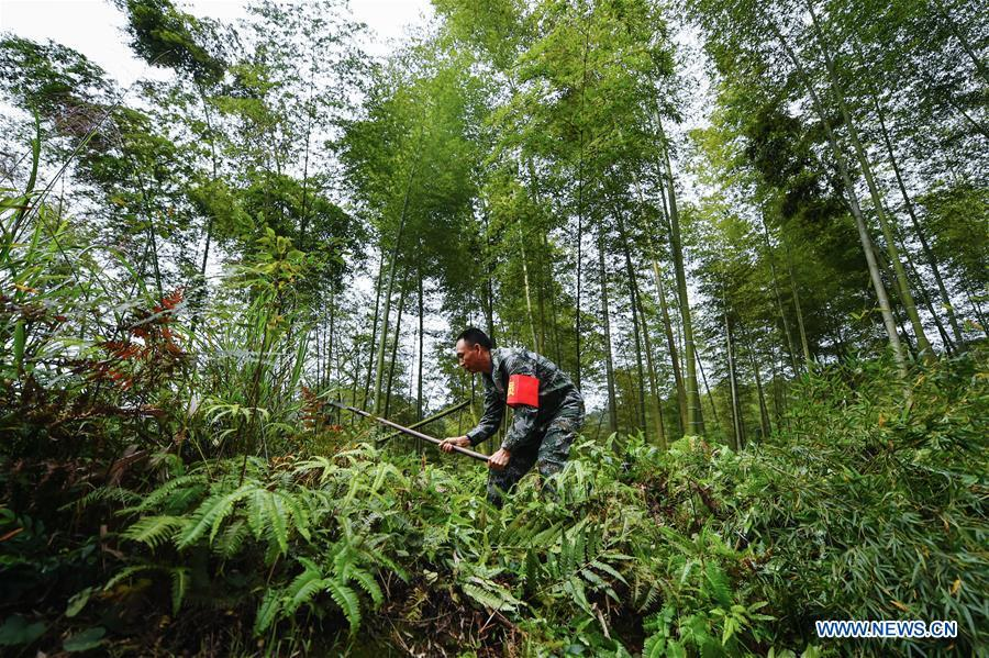 Forest ranger Shen Jinming weeds in a bamboo forest at Hushi forestry farm in Chishui City, southwest China\'s Guizhou Province, Oct. 24, 2018. Chishui is famous for its bamboo forest. To guard the bamboo, forest rangers need to patrol for all year round. At the Hushi forestry farm, there is a patrol group consisting of a dozen of forest rangers. They are in charge of about an area of 2,400 hectares. Loneliness is one of the difficulties they need to face as they can only go back home after one-week work. But all of them stay to keep working after those years as they love the bamboo forest and are determined to guard it. (Xinhua/Li Mangmang)