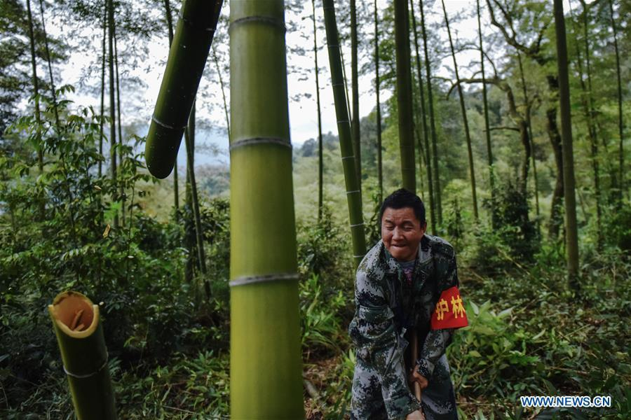 A forest ranger chops a dead bamboo in a bamboo forest at Hushi forestry farm in Chishui City, southwest China\'s Guizhou Province, Oct. 24, 2018. Chishui is famous for its bamboo forest. To guard the bamboo, forest rangers need to patrol for all year round. At the Hushi forestry farm, there is a patrol group consisting of a dozen of forest rangers. They are in charge of about an area of 2,400 hectares. Loneliness is one of the difficulties they need to face as they can only go back home after one-week work. But all of them stay to keep working after those years as they love the bamboo forest and are determined to guard it. (Xinhua/Li Mangmang)