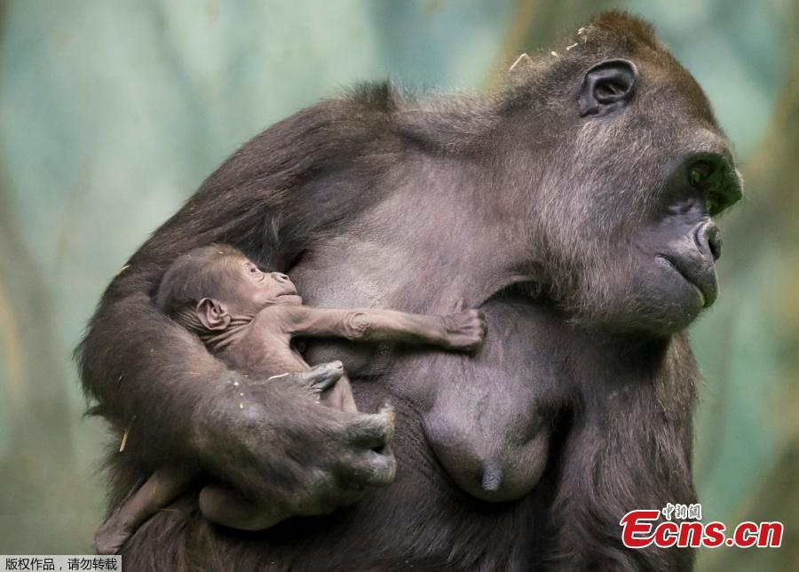 Kira, a 23-year-old western lowland gorilla, holds her newborn baby in its enclosure at the Moscow Zoo in Moscow, Russia November 21, 2018. (Photo/Agencies)