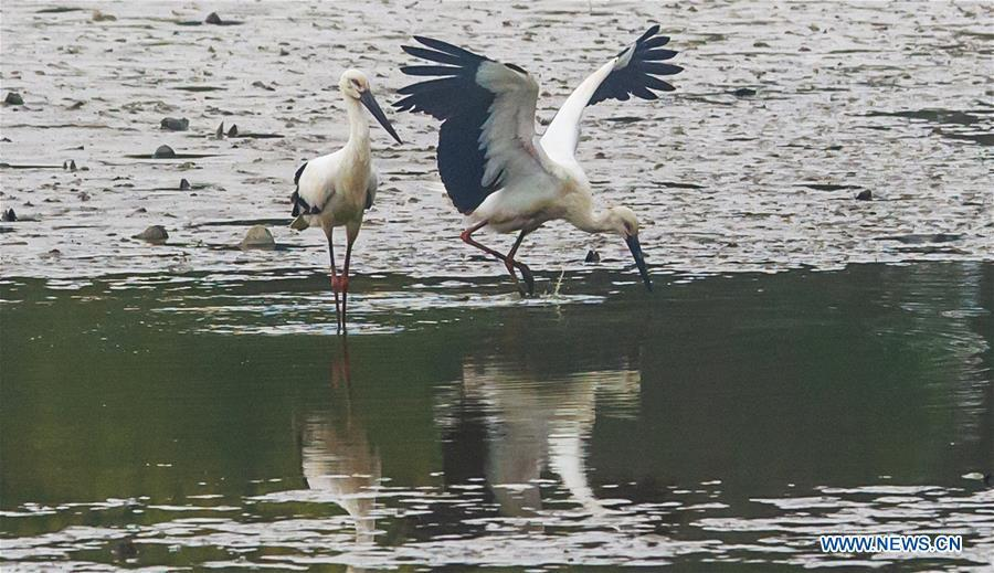Oriental white storks are seen at Bandao national wetland park in Chaohu, east China\'s Anhui Province, Nov. 21, 2018. More than 100 oriental white storks flew to the park for food and rest recently. (Xinhua/Guo Chen)