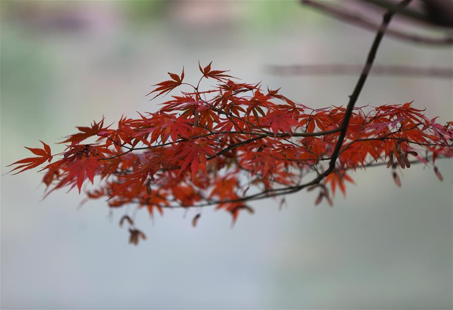 Photo taken on Nov. 22, 2018 shows the maple leaves at Huanglongdong scenic spot in Zhangjiajie, central China\'s Hunan Province. (Xinhua/Wu Yongbing)