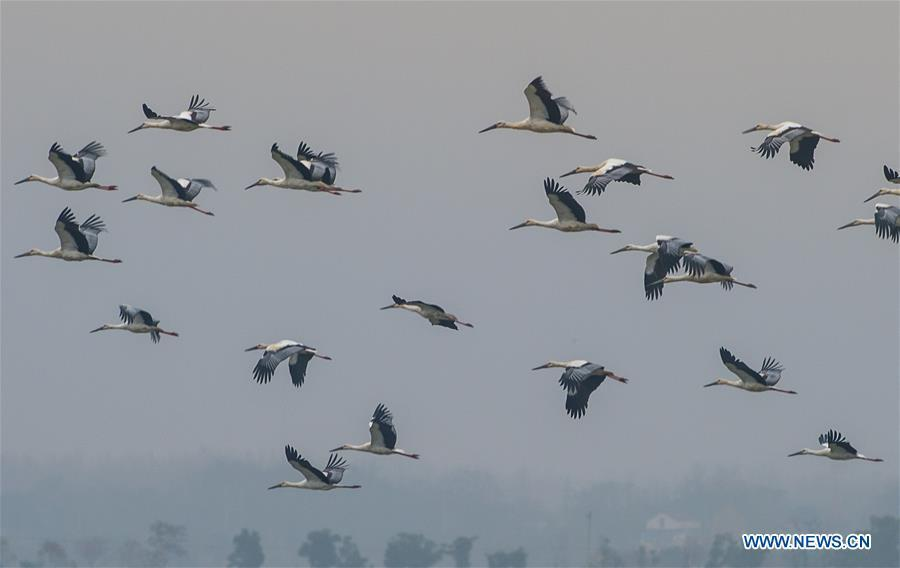 A flock of oriental white storks fly above the Bandao national wetland park in Chaohu, east China\'s Anhui Province, Nov. 21, 2018. More than 100 oriental white storks flew to the park for food and rest recently. (Xinhua/Guo Chen)