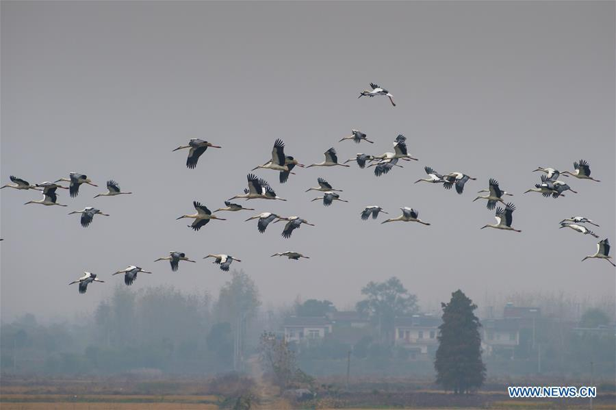 A flock of oriental white storks are seen at Bandao national wetland park in Chaohu, east China\'s Anhui Province, Nov. 21, 2018. More than 100 oriental white storks flew to the park for food and rest recently. (Xinhua/Guo Chen)