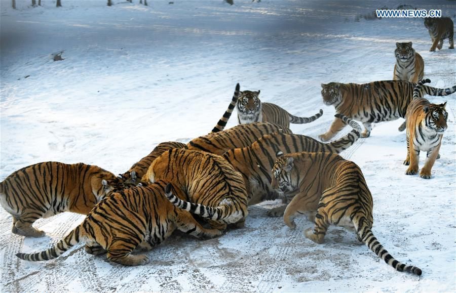 Siberian tigers play at the China Hengdaohezi Feline Breeding Center in Hailin City, northeast China\'s Heilongjiang Province, Nov. 21, 2018. (Xinhua/Wang Jianwei)