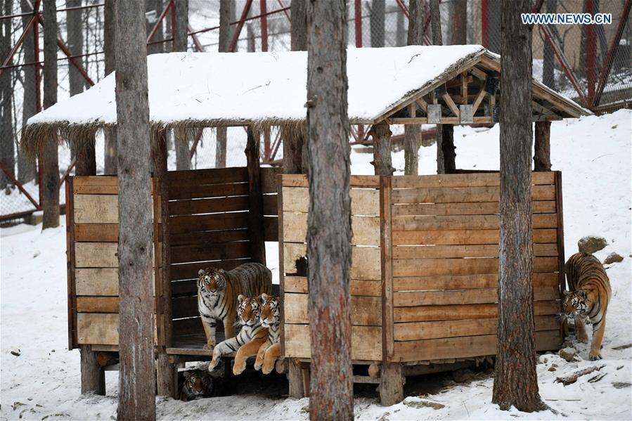Siberian tigers play at the China Hengdaohezi Feline Breeding Center in Hailin City, northeast China\'s Heilongjiang Province, Nov. 22, 2018. (Xinhua/Wang Jianwei)