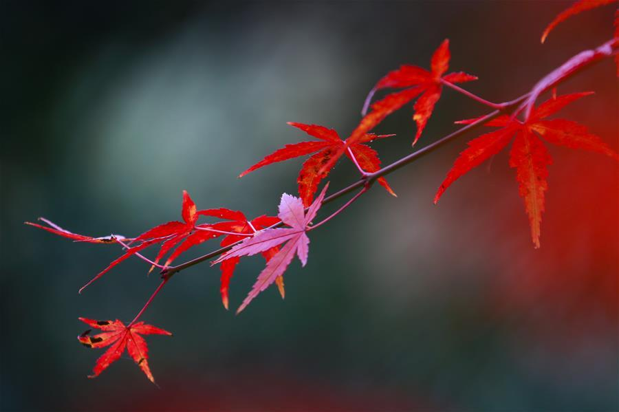 Photo taken on Nov. 22, 2018 shows the maple leaves at a park in Bijie City, southwest China\'s Guizhou Province. (Xinhua/Wang Chunliang)