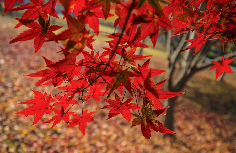 Photo taken on Nov. 22, 2018 shows the maple leaves at Sihong County of Suqian City, east China\'s Jiangsu Province. (Xinhua/Zhang Lianhua)