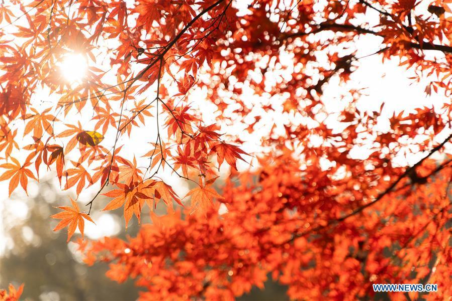 Photo taken on Nov. 25, 2018 shows the leaves colored in red of Yuelu Mountain in Changsha, central China\'s Hunan Province. (Xinhua/Zhang Xiaoyu)