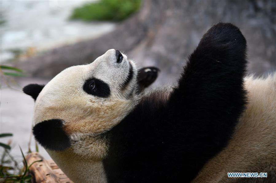 Giant Panda Shunshun makes public debut at the Hainan Tropical Wildlife Park and Botanical Garden in Haikou, south China\'s Hainan Province, Nov. 25, 2018. Giant Pandas Gonggong and Shunshun from Sichuan Province came to Hainan and made public debut after being adapted to their new home. (Xinhua/Guo Cheng)