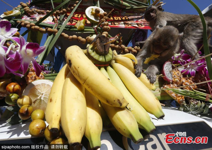 Monkeys eat fruits and vegetables during the annual Monkey Buffet Festival at the Phra Prang Sam Yot temple in Lopburi province, north of Bangkok, Thailand November 25, 2018.  (Photo/Sipaphoto)