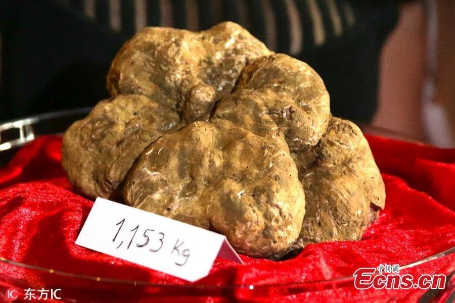 An assistant displays an Alba white truffle weighing 1,153g, at chef Tanka Sapkota\'s restaurant in Lisbon, Portugal on November 23, 2018. The truffle collected in Piemonte region in Italy is the biggest ever bought in Portugal. (Photo/IC)