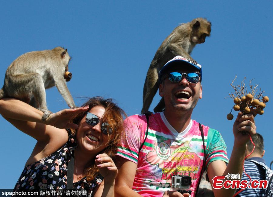 Monkeys sit on tourists' shoulders during the annual Monkey Buffet Festival at the Phra Prang Sam Yot temple in Lopburi province, north of Bangkok, Thailand November 25, 2018.   (Photo/Sipaphoto)