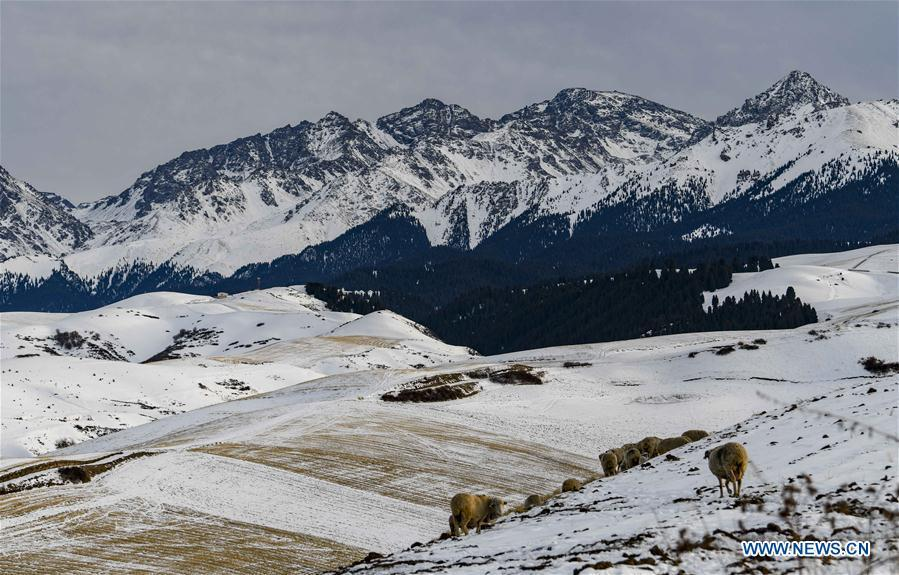 Sheep graze on the snow-covered wheat field in Qitai County, northwest China\'s Xinjiang Uygur Autonomous Region, Nov. 22, 2018. (Xinhua/Zhao Ge)