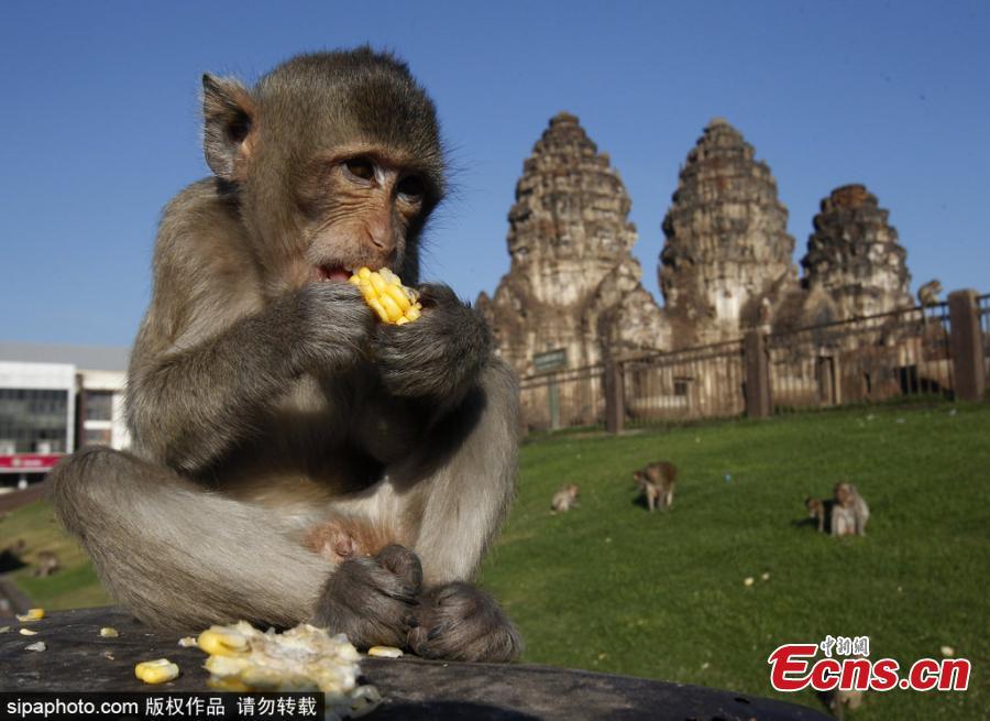 A monkey eats corn during the annual Monkey Buffet Festival at the Phra Prang Sam Yot temple in Lopburi province, north of Bangkok, Thailand November 25, 2018. (Photo/Sipaphoto)