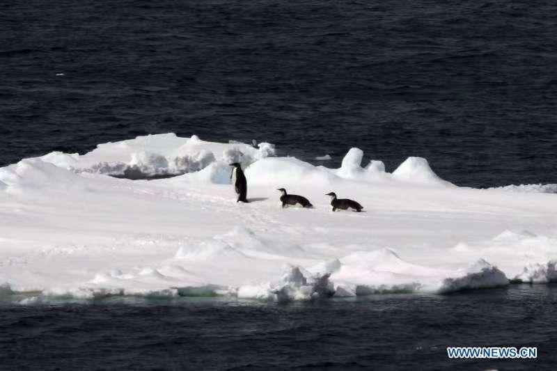 Floating ice and emperor penguins are seen in the Southern Ocean, Nov. 25, 2018. Xuelong entered a floating ice area in the Southern Ocean to avoid a cyclone. The ice area is located at 61.55 degrees south latitude and 110.37 east longitude. (Xinhua/Liu Shiping)