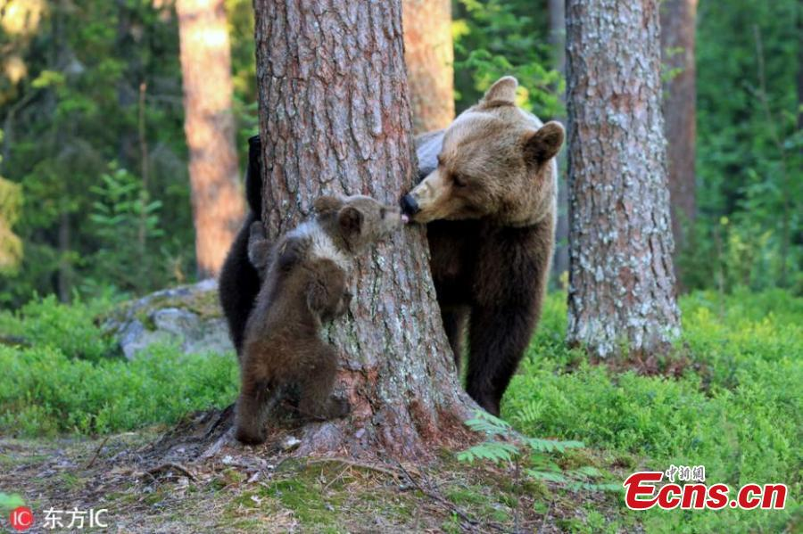 Stunning images capture the moment a mother bear was caught kissing her cub following an afternoon of games. Valtteri Mulkahainen, 59, from Finland was mesmerised when he was fortunate enough to witness the incredible moment a mother bear acted as though she was human when interacting with her babies in the town of Martinselkonen - near the border with Russia. (Photo/IC)