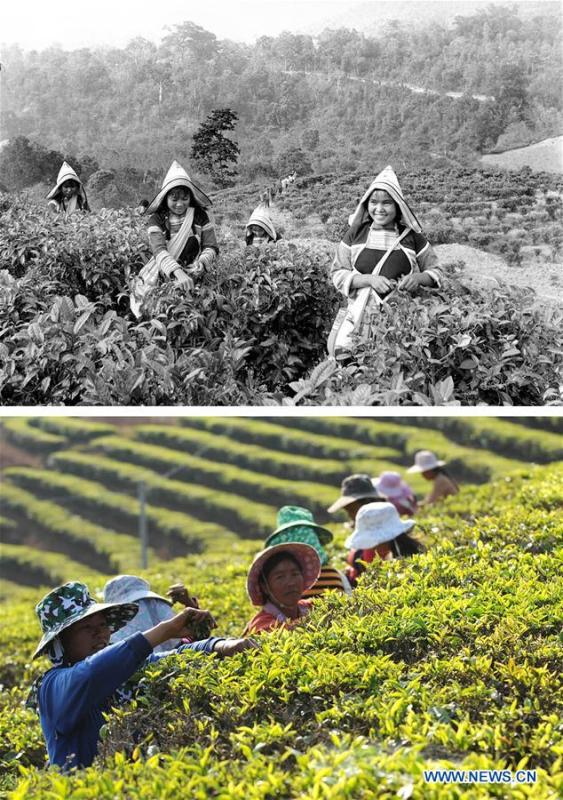 This combination photo shows Jino farmers picking tea leaves in 1984 (above, file photo); and Jino farmers working on a tea plantation in Jino Ethnic Township on Jino Mountain, Feb. 22, 2011 (below, photo by Lin Yiguang). With a population of slightly over 20,000, the Jino people had only been officially acknowledged in 1979 as an independent ethnic group of China. Until 1949, most of them had lived for generations in primitive mountain tribes in southwest China\'s Yunnan Province. Over the four decades since it embraced the reform and opening-up policy, China has spared no effort to support ethnic groups with smaller populations. Life on Jino Mountain, where most Jino communities are located, saw positive changes in parallel with improvements in local politics, economy, technology, education, culture, health care, ecology, ethnic development and other social undertakings. Just like its 55 ethnic brethren, the Jino people also benefit from China\'s reform and opening-up in seeking a prosperous life. In Jino Ethnic Township on the Jino Mountain, residents now have direct access to road, water, electricity, TV and radio, as well as the mobile network. Ninety percent of the residents have moved into new houses. Most residents own motorcycles and tractors, and some of them have purchased cars. More people have increased their income by selling local specialty products via the internet, whereas in the past, doing business was perceived as a shame. Currently, the primary education in Jino Ethnic Township achieved 100 percent coverage for all school-age children. More than 99 percent of residents have joined the rural cooperative medical insurance programme. The Jino ethnic culture undergoes protection and inheritance: the great drum dance of the Jino people has been listed as one of China\'s national intangible cultural heritages. (Xinhua)