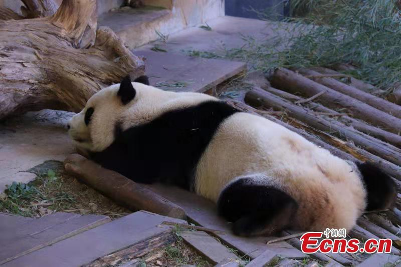 A panda enjoys winter sun bath at the Yunnan Wild Animal Park in the provincial capital of Kunming on November 28, 2018. (Photo provided to China News Service)