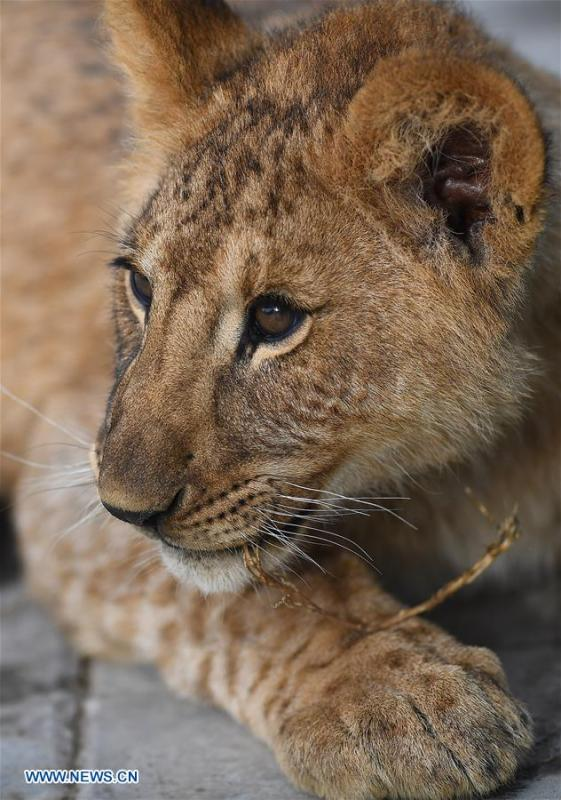 An African lion cub is seen at the Qinghai-Tibet Plateau Wild Zoo in Xining, capital of northwest China\'s Qinghai Province, Nov. 27, 2018. Three six-month-old African lions have survived the extreme environment of the Qinghai-Tibet Plateau, a new record for those breeding the species on the plateau. The three female cubs born on May 9 are now able to hunt for food by themselves. (Xinhua/Zhang Hongxiang)