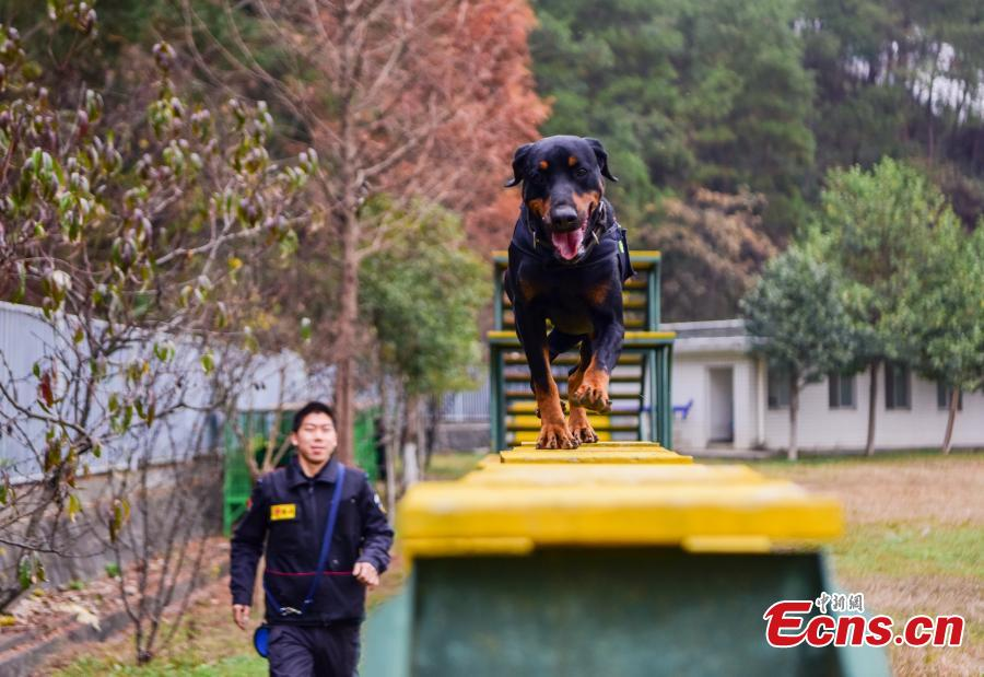 Police dogs are trained at a training base In Shiyan, Central China's Hubei province on November 27, 2018. The base has several dogs that can assist in diverse tasks including patrolling and searching for explosives or drugs. (Photo: China News Servcie/ Zhao Wei)