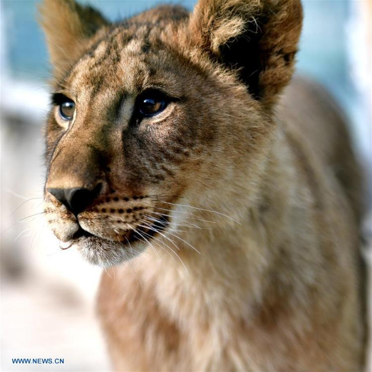 An African lion cub is seen at the Qinghai-Tibet Plateau Wild Zoo in Xining, capital of northwest China\'s Qinghai Province, Nov. 27, 2018. Three six-month-old African lions have survived the extreme environment of the Qinghai-Tibet Plateau, a new record for those breeding the species on the plateau. The three female cubs born on May 9 are now able to hunt for food by themselves. (Xinhua/Zhang Long)