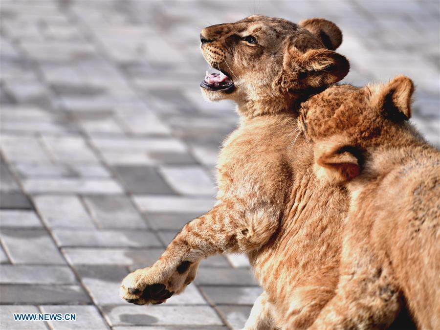 African lion cubs play at the Qinghai-Tibet Plateau Wild Zoo in Xining, capital of northwest China\'s Qinghai Province, Nov. 27, 2018. Three six-month-old African lions have survived the extreme environment of the Qinghai-Tibet Plateau, a new record for those breeding the species on the plateau. The three female cubs born on May 9 are now able to hunt for food by themselves. (Xinhua/Zhang Long)