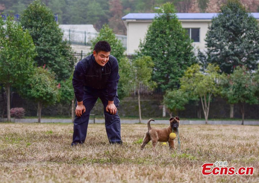 A police dog is trained at a training base In Shiyan, Central China's Hubei province on November 27, 2018. The base has several dogs that can assist in diverse tasks including patrolling and searching for explosives or drugs. (Photo: China News Servcie/ Zhao Wei)