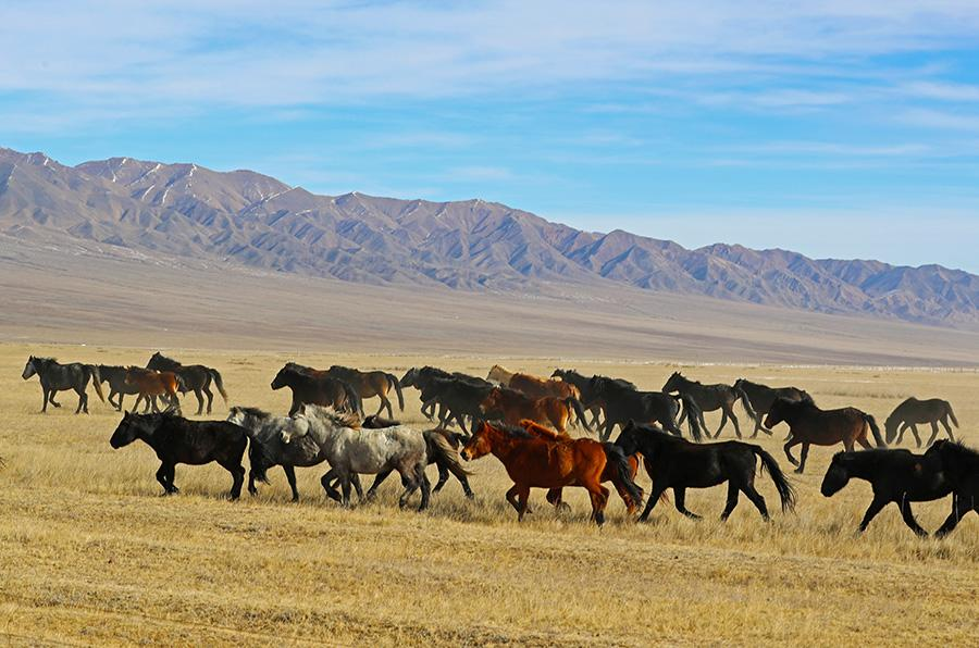 Thousands of horses gallop around the Shandan Military Horse Farm, NW China\'s Gansu Province. (Photo by Cheng Lin for chinadaily.com.cn)